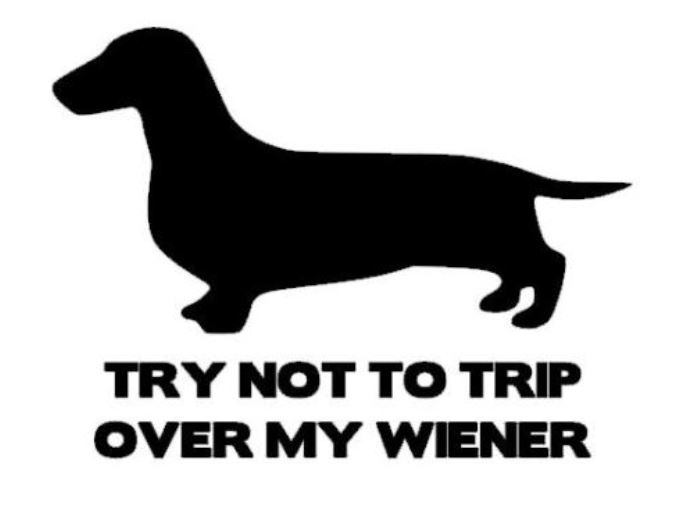 Try not to trip over my Wiener (short hair)